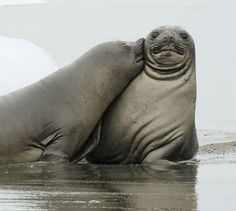 Cute alert: Baby elephant seal plants a surprise smacker on his pal