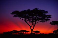 Acacia tree at sunrise, Serengeti Plains (Tanzania, 1982). Shot by Galen Rowell.