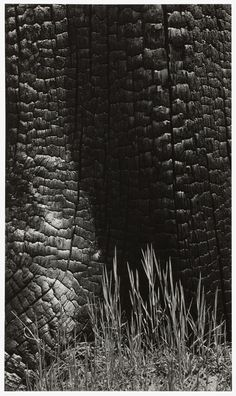 Ansel Adams Grass and Burned Stump, Yosemite Valley, Photograph 1939 9 × 5 in × cm Most Famous Photographers, Great Photographers, Sierra Nevada, Ansel Adams Photography, White Photography, Wildlife Photography, Ansel Adams Photos, Straight Photography, Still Life Artists