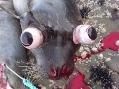 This is what a seal looks like when it is senselessly beaten on the head during the seal hunt.