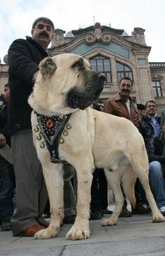 Turkhiş dog kangal