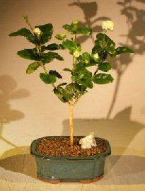 This Grand Duke of Tuscany flowering Jasmine has wonderful fragrant clusters of creamy white, button like double flowers. This evergreen bonsai tree may bloom nearly year round. Great indoor bonsai.