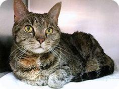 Philadelphia, PA - Domestic Shorthair. Meet Abby, a cat for adoption. http://www.adoptapet.com/pet/15435607-philadelphia-pennsylvania-cat