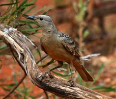 Images by Christine Walsh: Australian birds 2