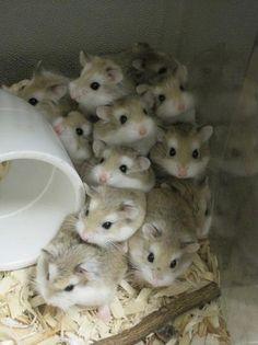 Lots of tiny hamster fluff balls