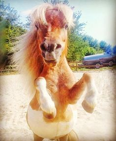 😍🐴😍I love this shot! Looks like this guy is a bundle of fun and i hope he puts a smile on your face!😍🐎😍 Thanks to for sharing this Mini Horses, Black Horses, Horse Ears, Icelandic Horse, Large Animals, Horse Pictures, Horse Love, Cute Funny Animals, Zebras