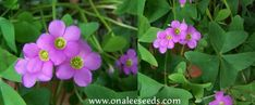Shop by Color - Pinks - Oxalis Pink Flowering, Wood Sorrel, Green ...