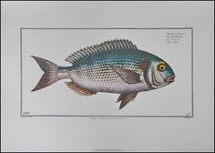 Croatia. Zagreb. Spiridon Brusina. Komarča - Orada. (11 December 1845 – 21 May 1909) was a Croatian malacologist. The Gilt-head (sea) bream (Sparus aurata) is a fish of the bream family Sparidae found in the Mediterranean Sea and the eastern coastal regi