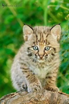 baby bobcat!!!