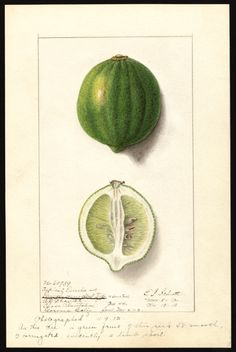 Artist:Schutt, Ellen Isham, 1873-1955 Scientific name:Citrus limon  Common name:lemons Variety:Eureka  original : col. ; 17 x 25 cm.Year:1912