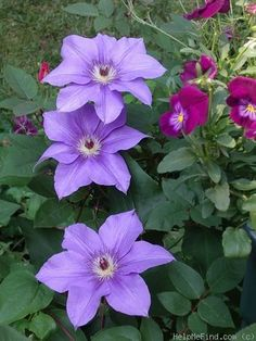 'Ramona' Clematis Photo