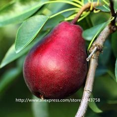 30pcs Rare Mini Red Pear Seeds,asian pear seeds,Delicious Pear Fruit Seeds Easy Grow For Home Garden Germ Bonsai Free Shipping