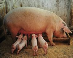 My mom's pet sow Priscilla.  She raised many litters of pigs.  She really responded to Mom and minded her.