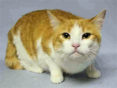 MIA – A1102718 - 7yrs, SPAYED FEMALE - BROUGHT IN WITH HOUSEMATE MECHITA WHEN OWNER MOVED AWAY – NEEDS HOME NOW!