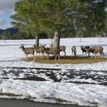 Deer herd on Alto Lakes Golf Course New Mexico Usa, Rocky Mountains, Lakes, Lincoln, Deer, Golf Courses, Beautiful Places, Wildlife, Animals