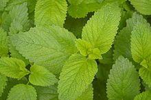 Zitronenmelisse – Wikipedia