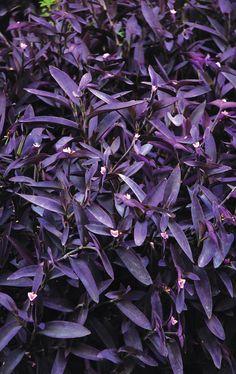 44++ Planta hojas moradas nombre ideas