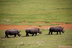 Learn about what made our Vuyani Safari Lodge experience in South Africa so amazing, see photos of the lodge area, hotel rooms and more! Rhinos, Hobby Farms, Perfect Photo, Hotel Reviews, See Photo, South Africa, Opportunity, Safari, Wildlife