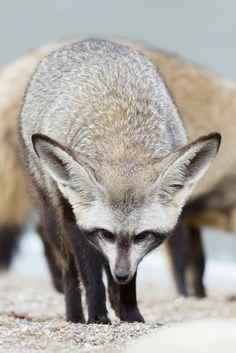 Bat Eared Fox by Mark Dumont*
