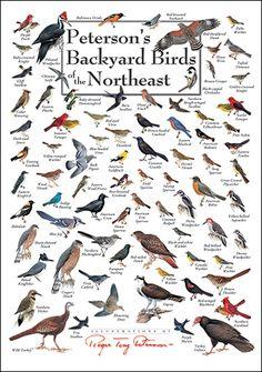Peterson's Backyard Birds of the Northeast Poster