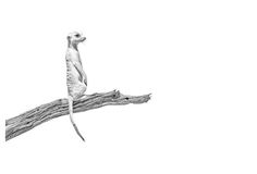 Black and white fine art wildlife print of a meerkat or suricate by dave hamman Animal Sketches, Animal Drawings, Illustration Art, Animal Illustrations, African Animals, Wildlife Art, Animal Prints, Wildlife Photography, Art Images