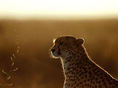 Afterthoughts, Cheetah