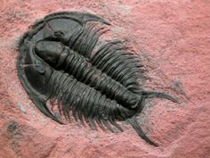 Tricrepicephalus coria Cambrian Trilobite  Here is a truly beautiful trilobites:  Tricrepicephalus coria (or T. texanus) Trilobites Order Ptychopariida, Family Tricrepicephalidae Geological Time: Early Middle Cambrian Size: 44 mm long Fossil Site: Weeks Formation, House Range, Millard County, Utah