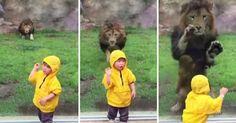 Λιοντάρι ορμάει να αρπάξει ένα παιδάκι αλλά το σταματάει το ειδικό τζάμι
