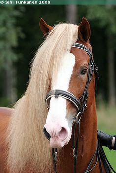 Jaime 1409-95R  - Sukuposti- Finnhorse stallion.