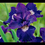 Few flowers can compare with the grace and beauty of the Siberian Iris.