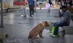 """Os estudantes chilenos, Violeta Caro Pinda e Felipe Carrasco Guzmán, criaram uma intervenção urbana na qual amarraram balões no pescoço de cachorros de rua com mensagens pedindo afeto. O objetivo era chamar a atenção das pessoas para uma cena que tornou-se corriqueira nas grandes cidades: ver cachorros de rua em situação de risco. Frases como...<br /><a class=""""more-link""""…"""