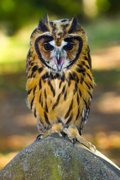 Previous pinner wrote: During a visit to the cemetery around sunset time, I came across this beautiful Owl. The Owl was very noisy, perched on top of someones gravestone. I ran back to the car and luckily enough when I returned the owl was still around. Beautiful Owl, Animals Beautiful, Cute Animals, Owl Photos, Owl Pictures, Exotic Birds, Colorful Birds, Owl Bird, Tier Fotos