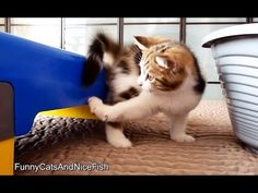 Chasing of tail   Funny Cats - YouTube