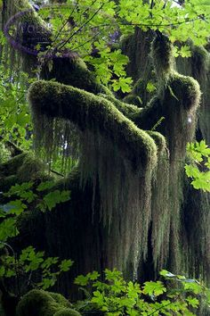Spanish Moss hanging from tree branches with Maple Leaves