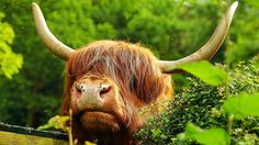 Highland cattle on a walk from Tintern Abbey, Monmouthshire, Wales. I want this cow AND to walk from an Abbey in Wales. Highland Cattle, Wales, Cow, Animals, Animales, Animaux, Welsh Country, Cattle, Animal