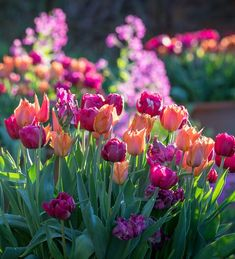 Buy Boiled Sweet Tulip Collection from Sarah Raven: This tulip collection has the classic Sarah Raven mix of purple and orange to make your garden sing. Growing Tulips, Planting Tulips, Tulips Garden, Garden Bulbs, Perennial Bulbs, Hardy Perennials, Types Of Tulips, Tulip Bulbs, Gardening Magazines