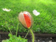 Red Poppy by IRinka Tsarevna on 500px