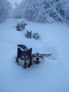 "Huskies Pulling and the Sled on it's Side... ….this is just the happy face our ""Kodi & Trina"" used to have out in the snow!"