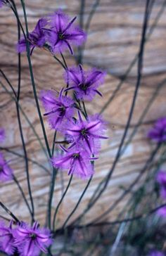 Twining fringe-lily (Thysanotus patersonii) A perennial herb endemic to Australia. Australian Wildflowers, Australian Native Flowers, Australian Plants, Australian Garden Design, Australian Native Garden, African Plants, Pictures Of Lily, Evergreen Shrubs, Wild Orchid