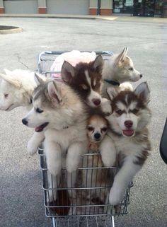 Baby Huskies in a cart. So CUTE.