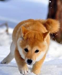 A Shiba Puppy in the Snow