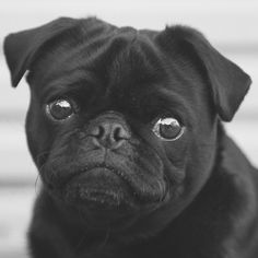 This week's pug photo challenge is all about black & white photos cause well I love black & white photos! Tag yours with #tpd_bw #thepugdiary