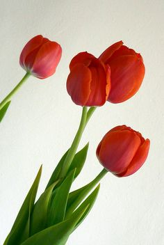 #red #tulips #flowers #flores #tulipas #flickr