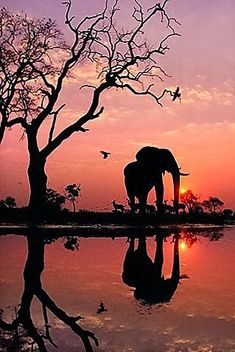 """African elephant silhouetted by the sunrise. """"Elephant at Dawn"""", Botswana, Photograph by Frans Lanting African elephant silhouetted by the sunrise. """"Elephant at Dawn"""", Botswana, Photograph by Frans Lanting Chobe National Park, National Parks, National Museum, Beautiful World, Animals Beautiful, Beautiful Places, Beautiful Sunset, Beautiful Creatures, Animals Amazing"""