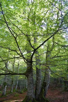 Selva de Irati, Navarra, España