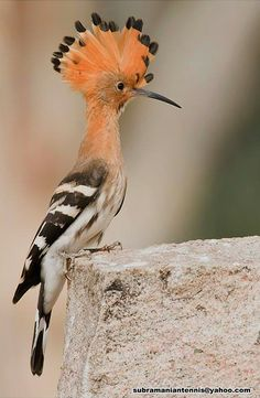 eautiful Common Hoopoe