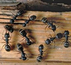 Home Remedies for Carpenter Ants • Grandma's Home Remedies