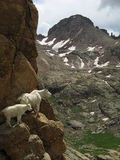 Mountain goats with Windom Peak, Weminuche Wilderness, Colorado | Flickr - Photo Sharing!