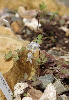 Aquilegia leramiensis