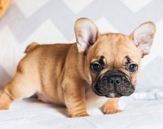Adorable Baby French Bulldog Puppy